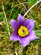 yellow-violet pasque flower close