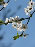 flowers of wild plums on background of blue sky