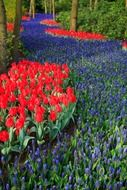 red tulips among purple flowers in a meadow