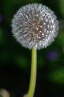 fluffy dandelion flower close