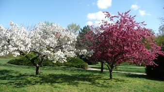 white and pink blooming trees at park