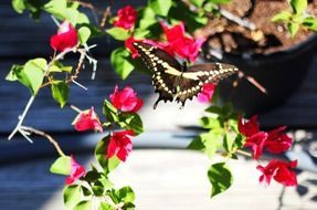 butterfly on a bush with small red flowers