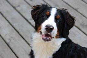 Portrait of Bernese doggy