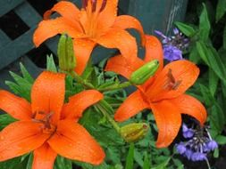 orange lilies and blue cornflowers grow at the fence