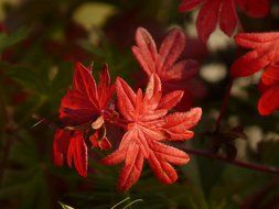 Macro photo of Red bloody cranesbill