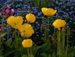 yellow poppies on a background of other flowers