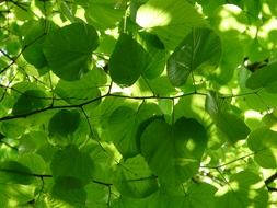 light green leaves of linden