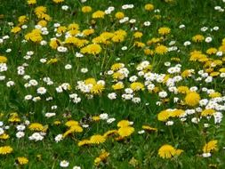 White and yellow daisies on a meadow