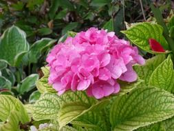 hydrangea, blooming plant with pink flowers