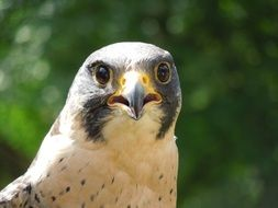 peregrine falcon portrait close