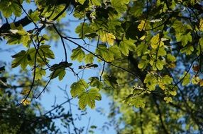 green maple leaves on a tree against a blue sky