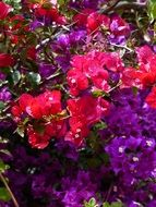 Purple and pink bougainvillea colorful flowers macro