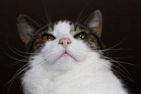 domestic cat with long mustache close up