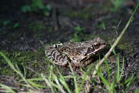 brown earth toad