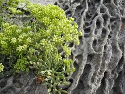 blooming succulent plant on rock,sardinia