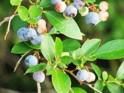 blueberries on a branch with green leaves