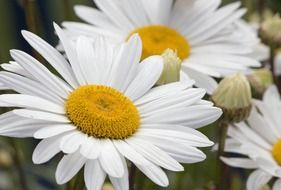 White and yellow daisy flowers blossom