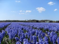boundless expanses of blue hyacinths