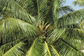 coconut tree with huge green branches