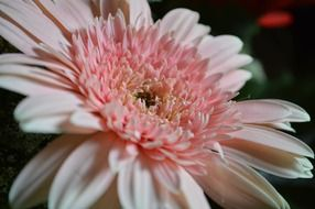 pink daisy bloom macro view