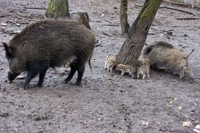 wild boars forest nature N7