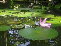 water lily among the large leaves in a pond