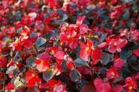 ice begonias flowers red flora N5