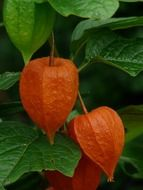 Physalis ordinary closeup
