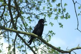 Crow on tree branch