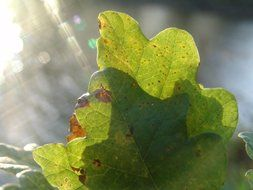 autumn oak leaves in the sunlight
