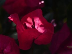 colorful flowers of bougainvillea plant