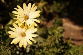 Yellow daisy in a garden