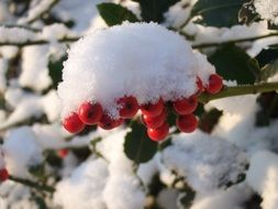 bush with red berries in the snow