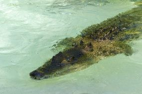 dangerous saltwater crocodile diving