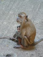 Monkey with a child in Malaysia
