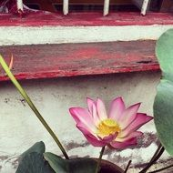 picture of the chinese lotus flower