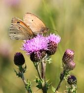 two brown butterflies butterfly on thistle flowers