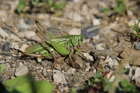 perfect grasshopper insect