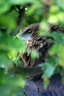 eagle behind a branch with green leaves