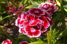 turkish carnation