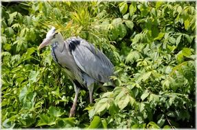 silver heron outdoor holland nature