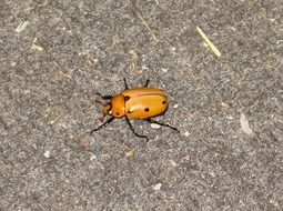 Grapevine Beetle, Spotted June Beetle, orange and black bug on grey surface