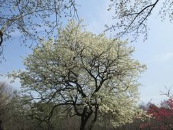 Cherry tree with white flowers in the park