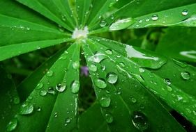 Raindrops on a green sheet of lupine