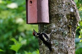 great spotted woodpecker nature