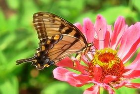 brown butterfly on a pink flower in nature