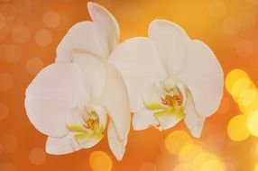 white orchid flowers bokeh close-up