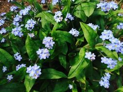 magnificent bush with blue forget-me-nots