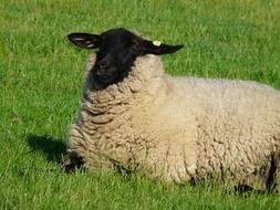 sheep sits on a green grass
