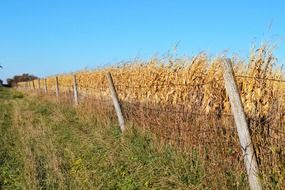 fenced ripe cornfield on farmland
